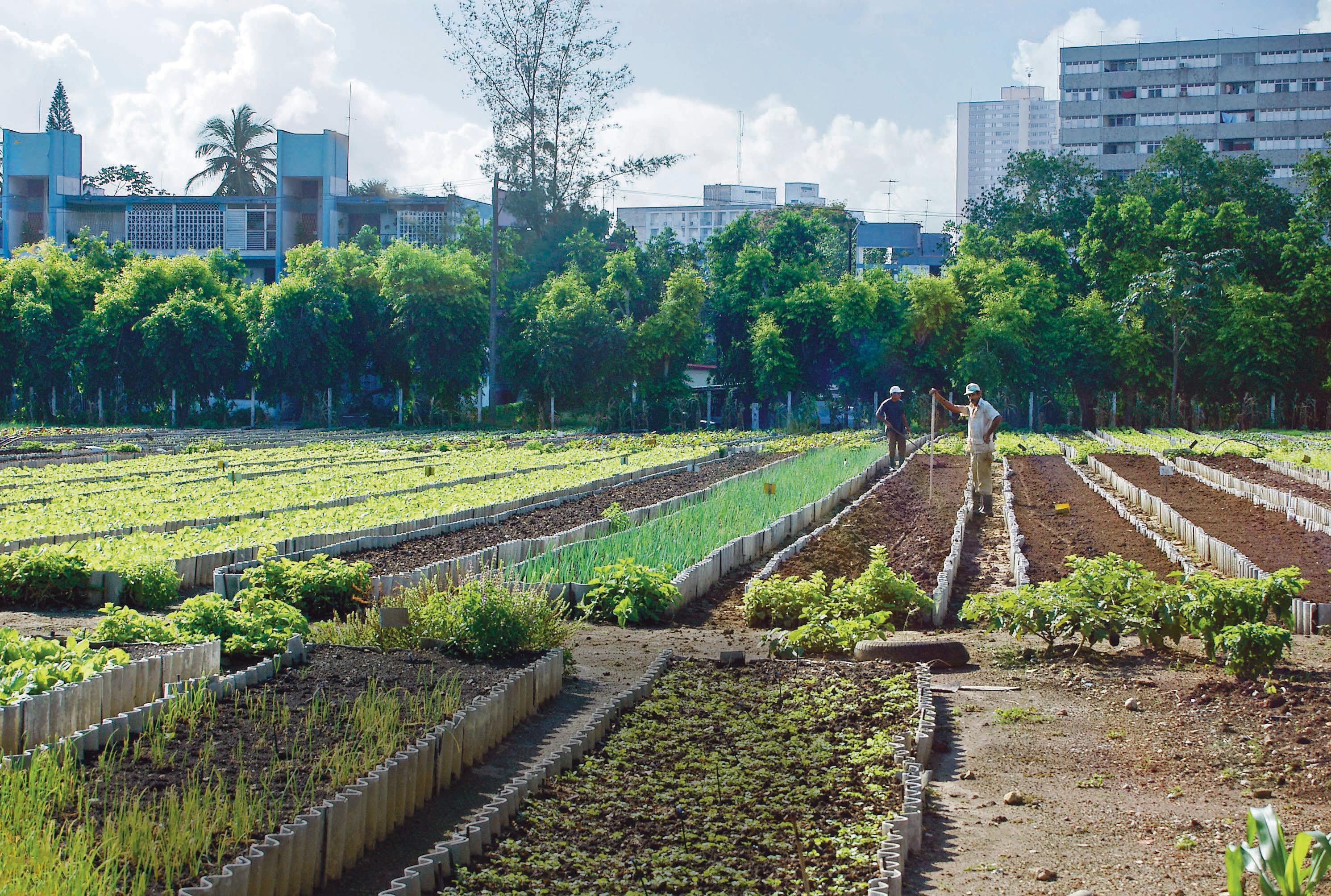 Urban Agriculture In Cuba C 2004 John M Morgan From The Film